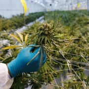Cannabis Watch: Marijuana-REIT stock falls after second-quarter earnings